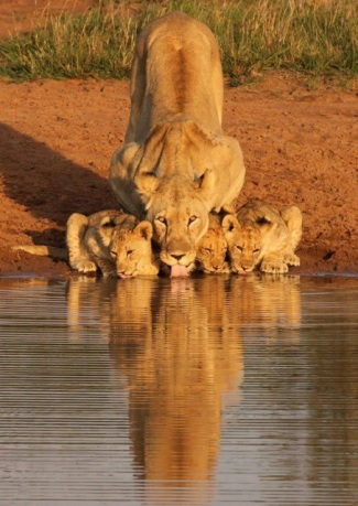 LION and CUBS IMG